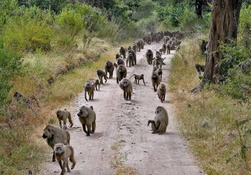 Lake Manyhara Baboons