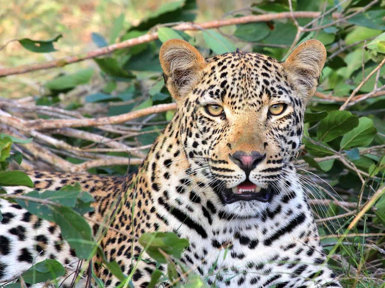 Leopard 1036455 1280