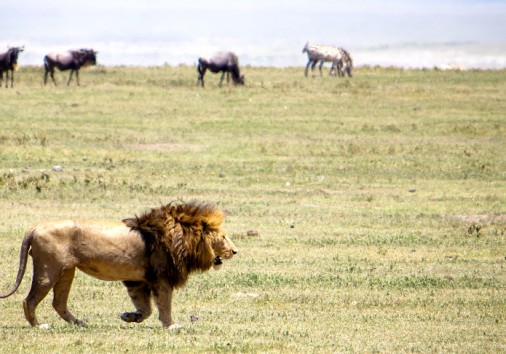 Lion On The Move In Ngorongoro Crater