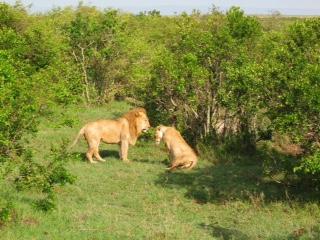 Lions At Mara