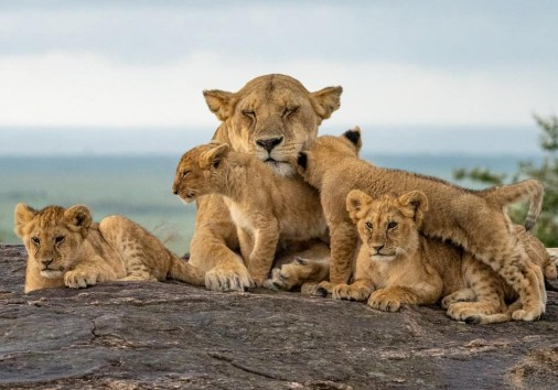 Lion Pride Cubs With Mama Lion