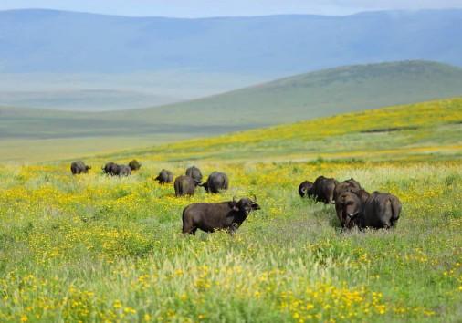 Ngorongoro Buffallo