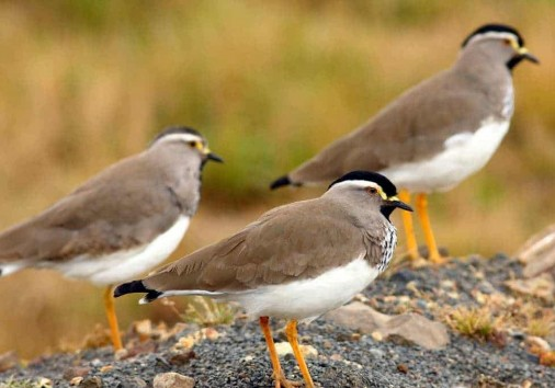 Spot Breasted Lapwings Ml