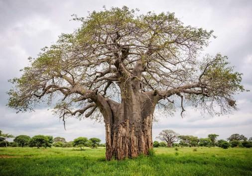 Tarangire Baobab
