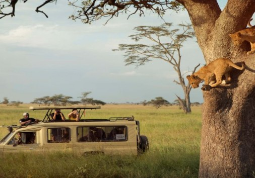 Viewing Tree Climbing Lions On A Game Drive In The Serengeti Np Tanzania With G Adventures