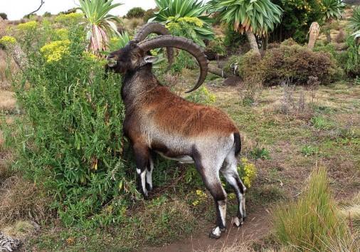 Walia Ibex Simien Mountains Ethiopia Aidan Moran