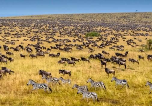 Wildebeest Mara Migration