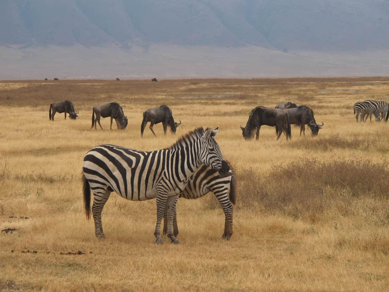 Zebra Safari 2284147 1280 Copy