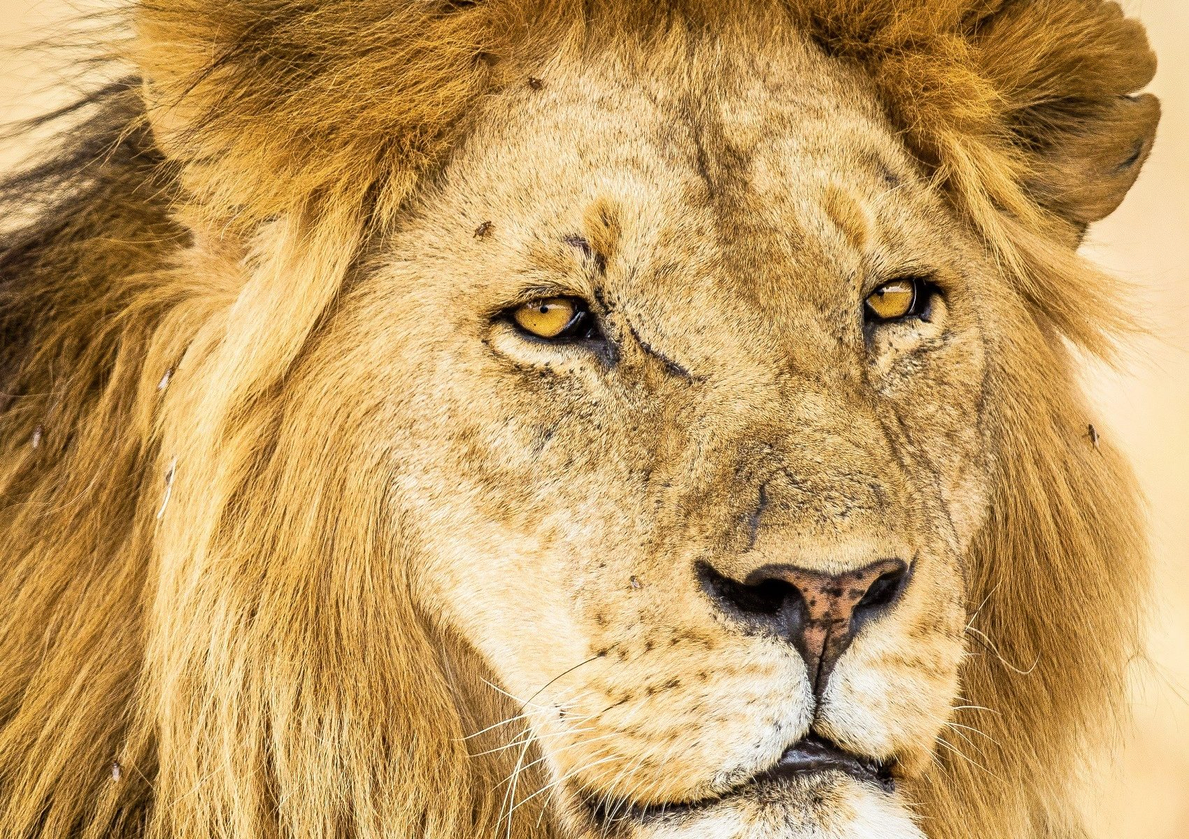 Amphotography Lion 0b2a6604 1 1700x1200