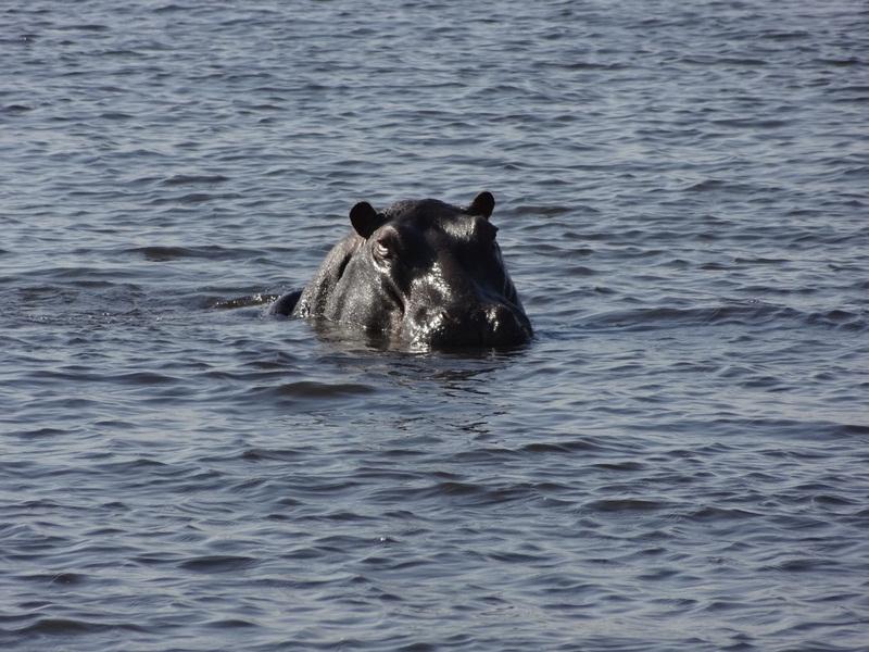 Chobe Hippo