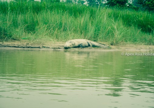 Crocodile Laying On The Bank Of Rapti River In Chitwan National Park