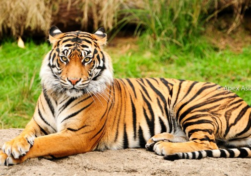 Endangered Royal Bengal Tiger Inside The National Parks Of Nepal