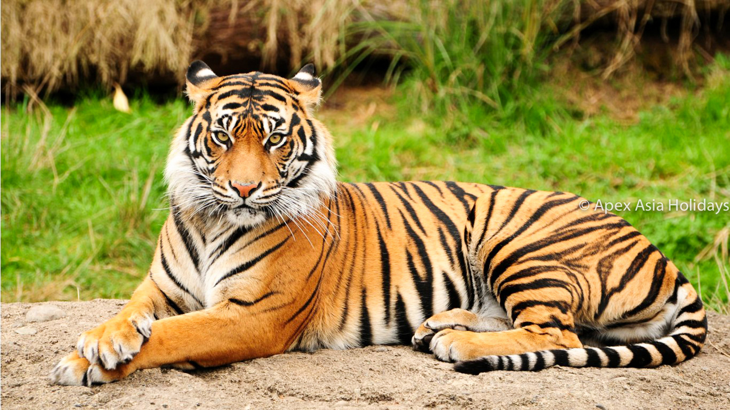 Endangered Royal Bengal Tiger Inside The National Parks Of Nepal