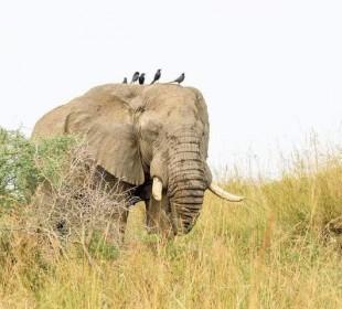 5 Days Lion & Gorilla Tracking Tour in Uganda
