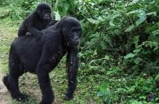 4-Day Bwindi Impenetrable Forest and Ngamba Island Safari