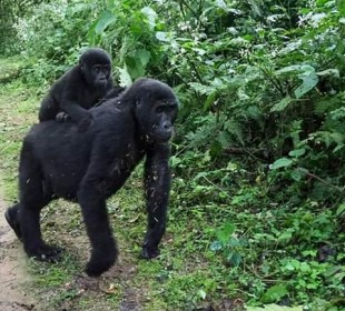 4-Day Bwindi Impenetrable Forest and Ngamba Island Safari