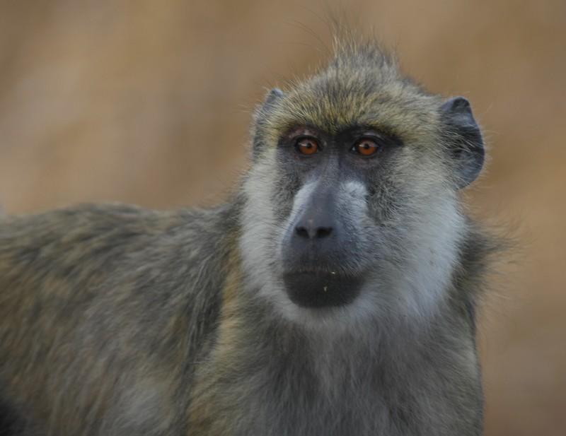 Mikumi Baboon