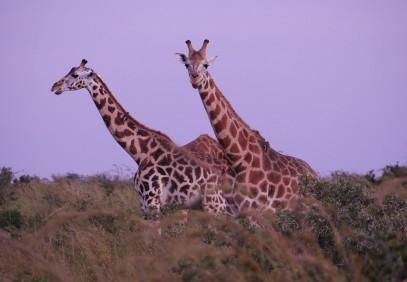 Pearl of Africa Safari Experience