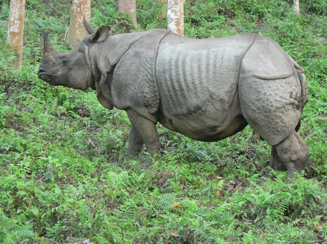 Rahino
