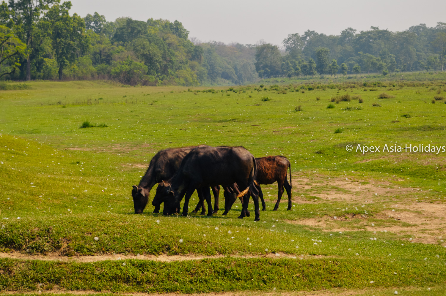 Wild Animals Are Grzing On The Bank Of Rapti River Chitwan National Park