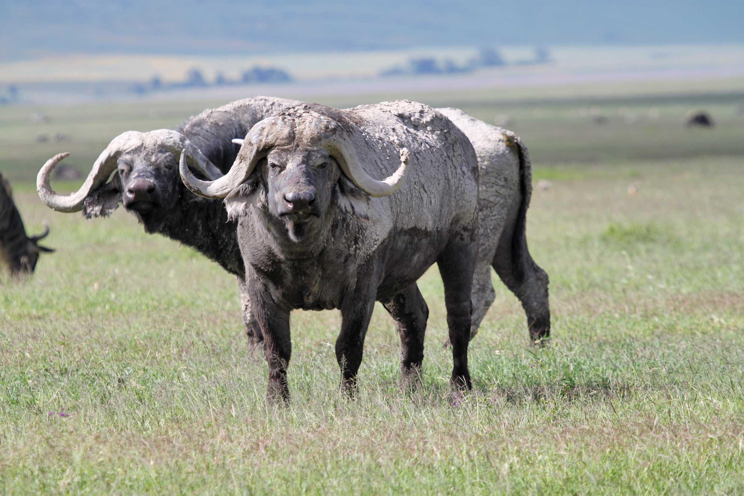 African Buffalo Ngorongoro Crater