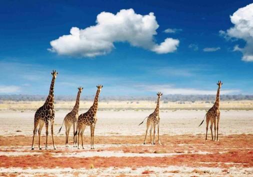 Giraffes In The African Grassland