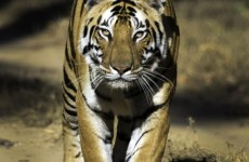Golden Triangle with Tigers