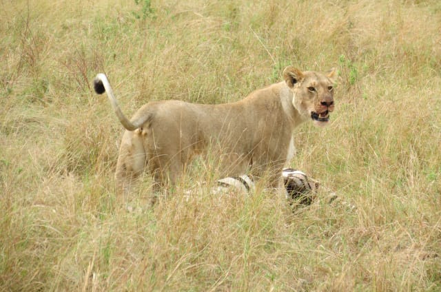 Lioness With Kill
