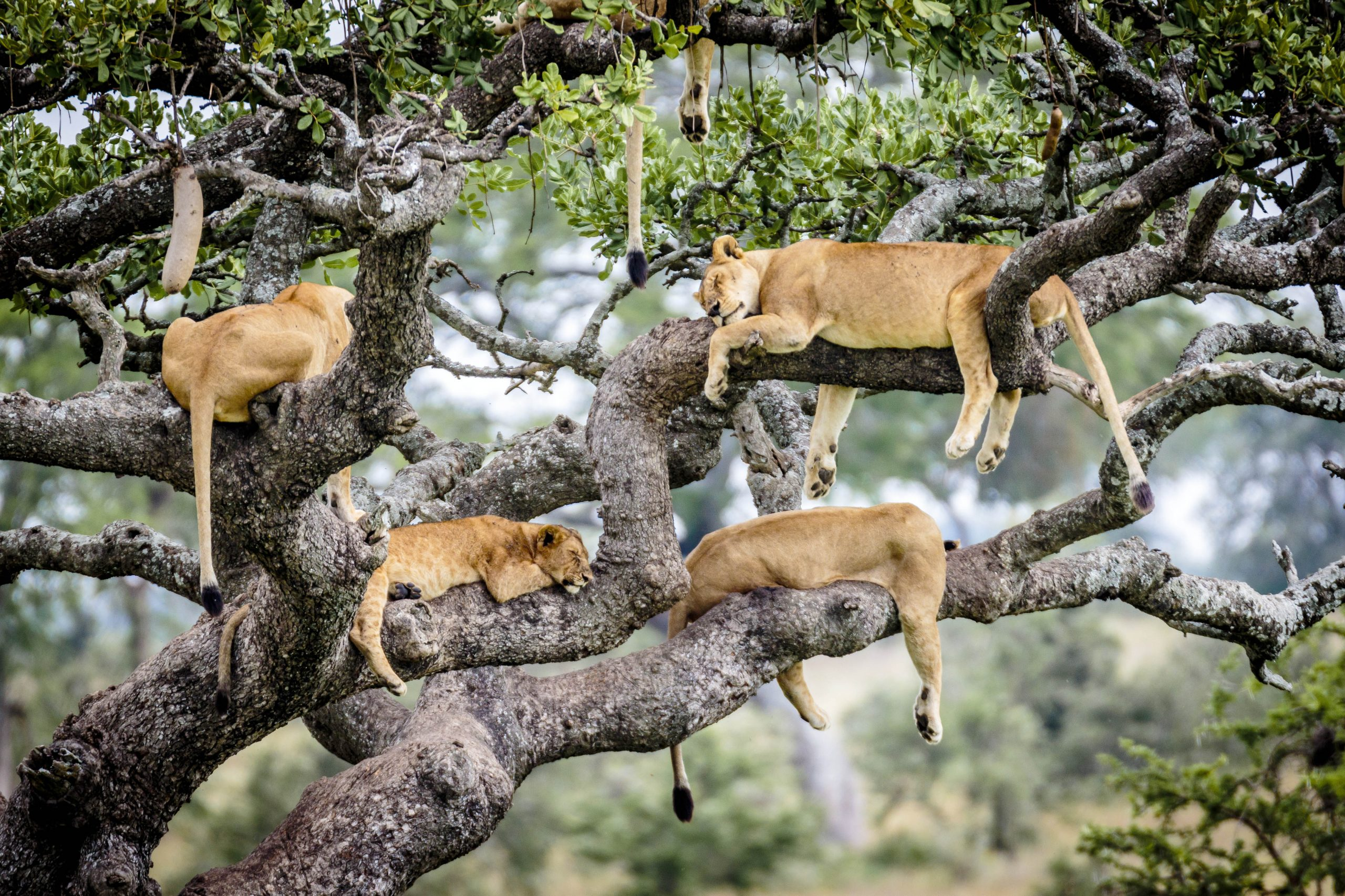 Lions Up A Tree