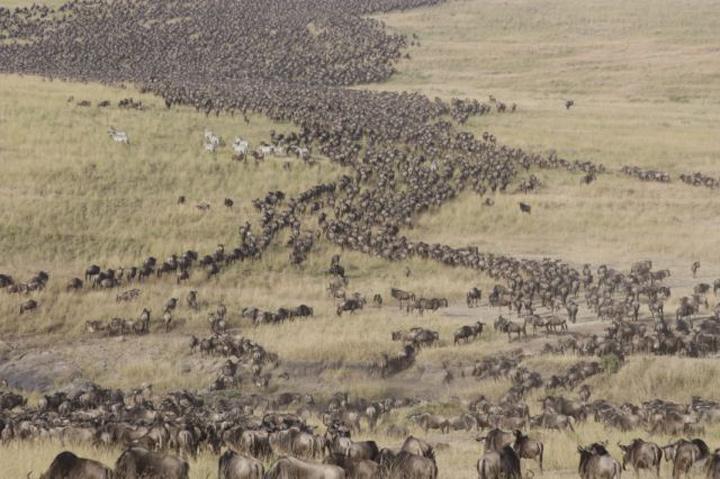 Migration Wildebeest1