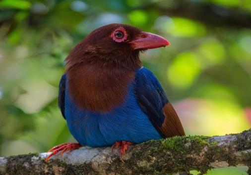 109 Sri Lanka Blue Magpie 0