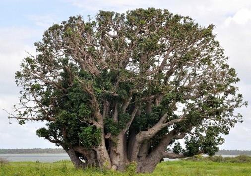 1499770757baobab Trees