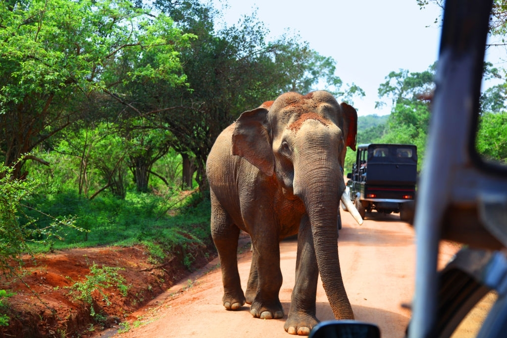 Elephant Encounter On Road In Front Of Safari Vehicles In Yala National Park