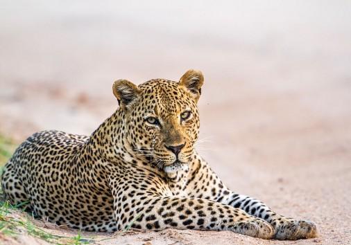 Specie Panthera Pardus Family Of Felidae