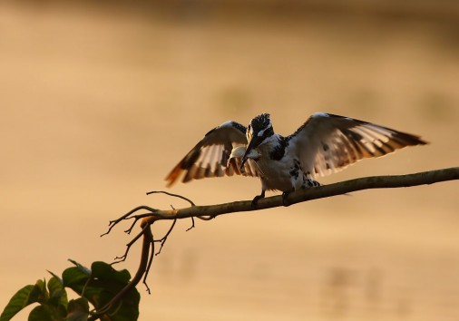 Pied Kingfisher With Fish Hunt In The Morning