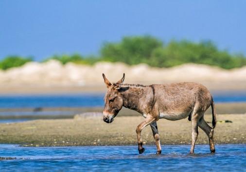 Specie Equus Asinus Family Of Equidae