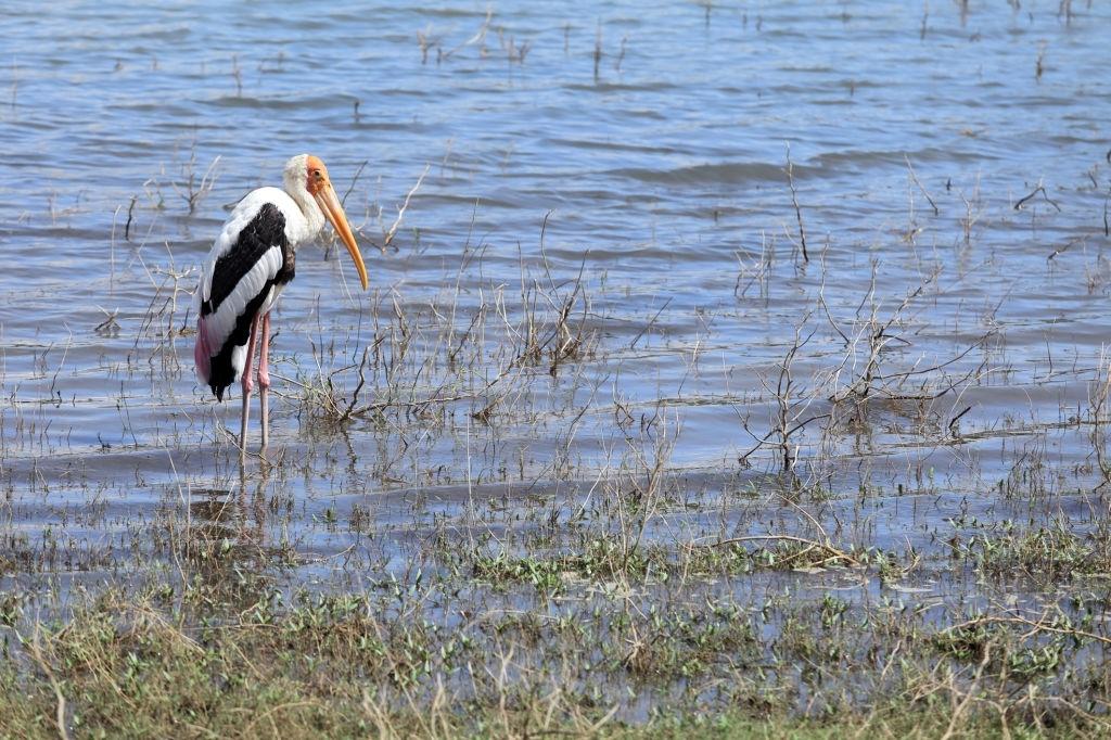 Painted Stork In Uda Walawe National Park, Sri Lanka