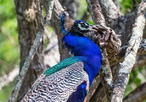 Peacock. Yala National Park. Sri Lanka.