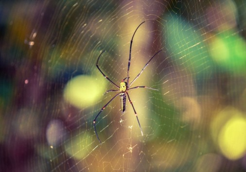 Silk Spider Nephila In The Rain Forest Of Sinharaja Forest Of Sri Lanka