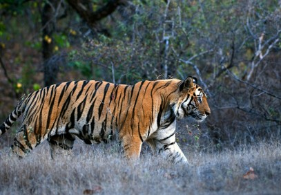 12-Day India Tiger Photography Tour