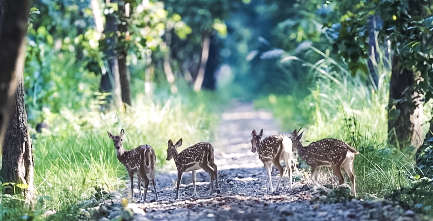 Child Deer In Bardia National Park