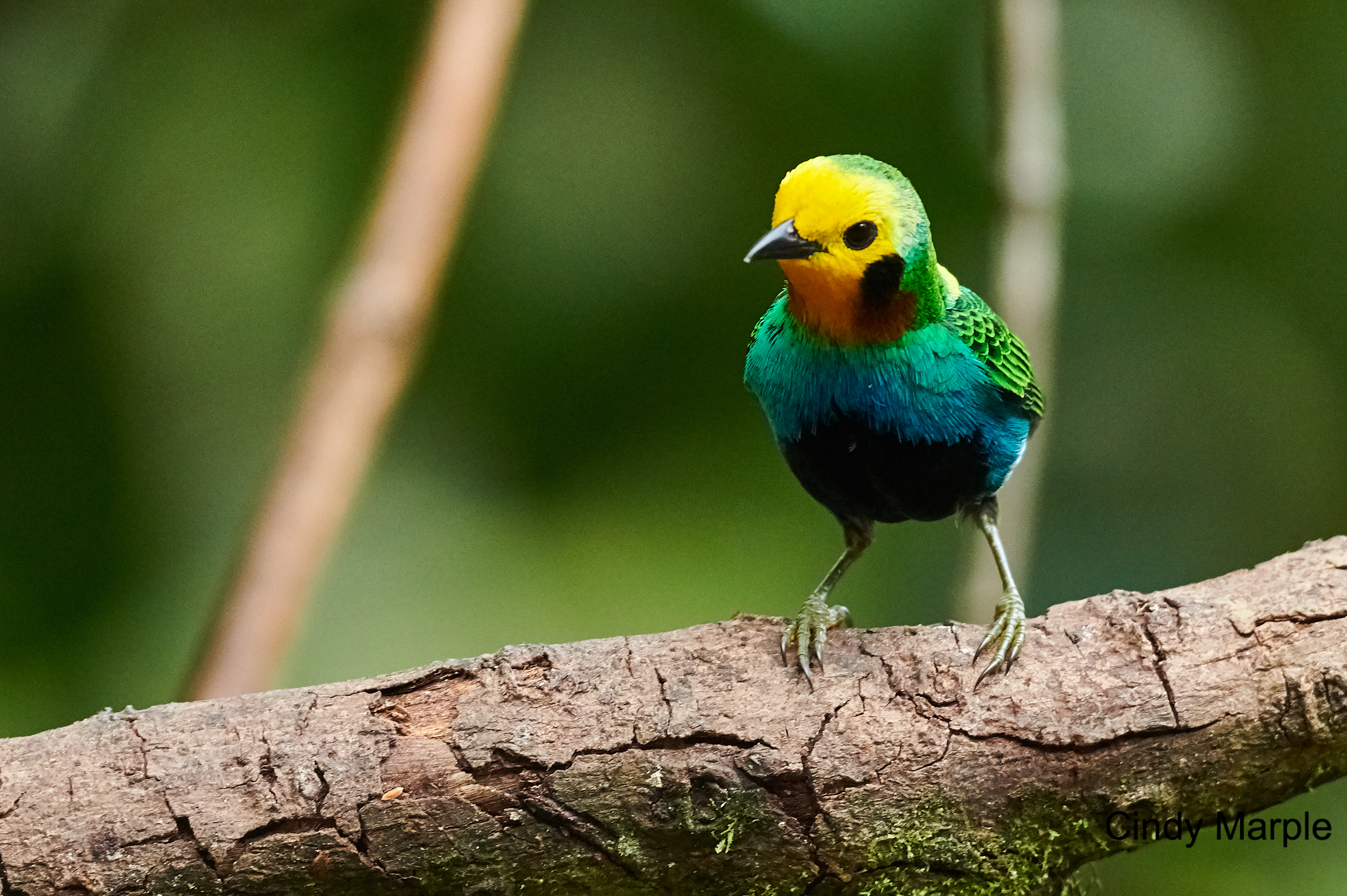 Multicolor Tanager