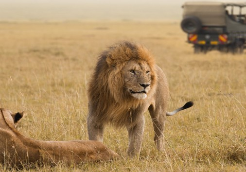 Enchanting Travels African Lion Couple And Safari Jeep In Kenya Africa 1