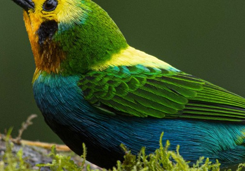 Multicolor Tanager Chlorochrysa Nitidissima Photography Tour Endemic Tour Birdingcolombiatours