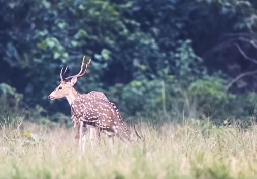 Swamp Deer (barashinga) In Bardai National Park