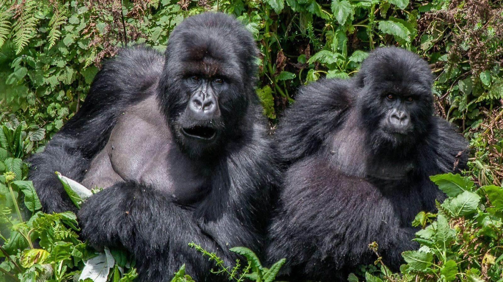 Gorilla Trekking Uganda Nwt1u
