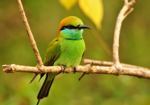 Beautiful Bee Eater In The Jungle