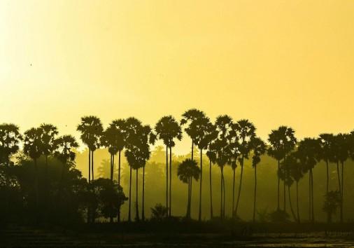Palm Trees In Jaffna Sri Lanka