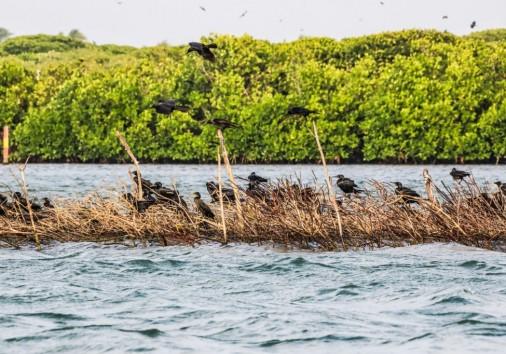 Sri Lanka Negombo Lagoon Crow Photographed In February 2018