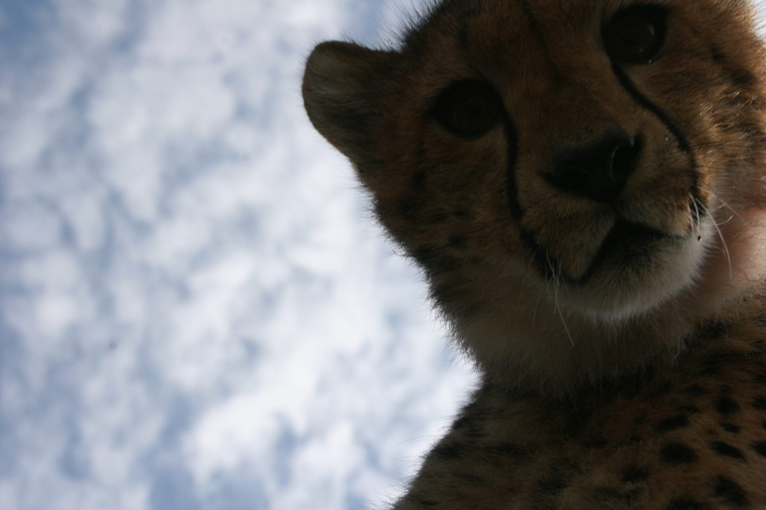 Cheetah from a Bug's view